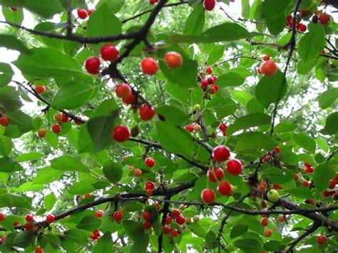 2 cherry tree groveland ma coltivazione ciliegio frutteto come coltivare il ciliegio