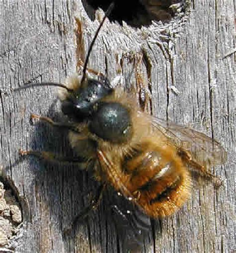bumble bees wasps and solitary bees chelmsford beekeepers