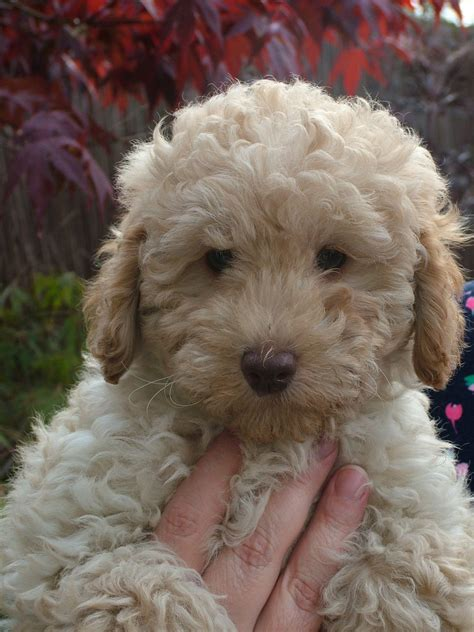 your doodle puppy year 1 adorable labradoodle puppy basildon