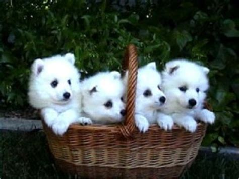 japanese spitz puppies for sale where to find japanese spitz puppies for sale dogable