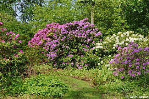 Britzer Garten Rhododendron rhododendron bl 252 te im britzer garten