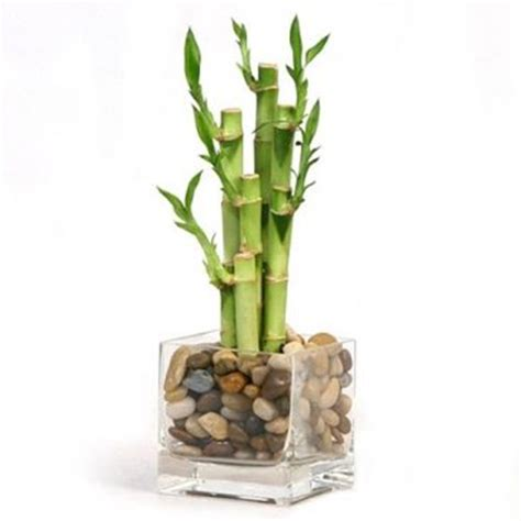 Lucky Bamboo Vase by Lucky Bamboo Vase Arrangement In Thunder Bay On Grower Direct Thunder Bay