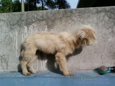 Jual Cepat 8211 by Dunia Anjing Jual Anjing Lainnya Mix Breed Jual