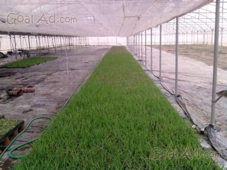ragnetti in terrazza vendo piantine egeria densa pianta facilissima cerca