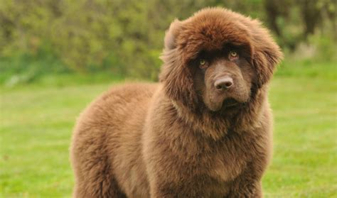 newfoundland breed newfoundland breed information