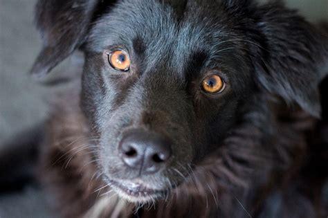 golden retriever pigmentary uveitis treatment eye diseases in dogs hairsstyles co
