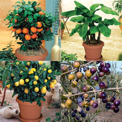 fruit trees indoors indoor fruit tree assortment fruit tree assortments