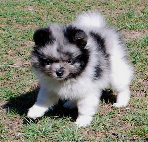 pomeranian merle puppies for sale merle pomeranains s pomeranians
