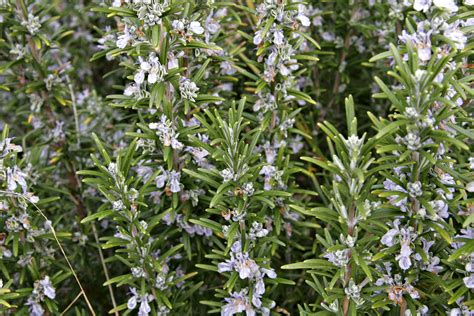file rosemary bush jpg wikipedia