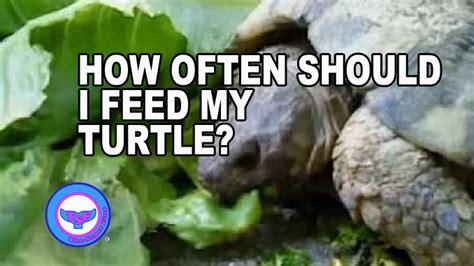 how often should i feed my how often should i feed my turtle the fins