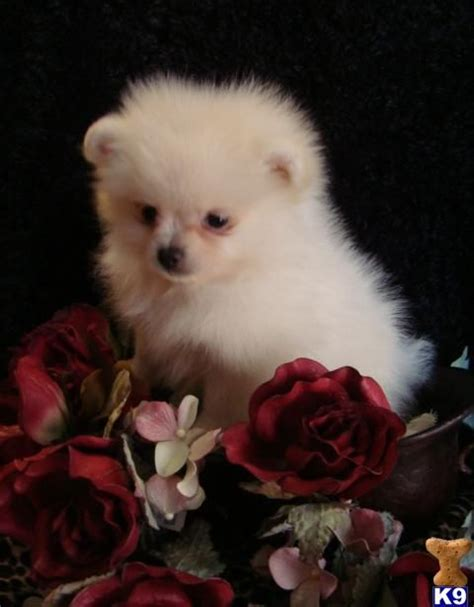 teacup pomeranians for sale in florida teacup pomeranian puppy teacup pomeranian and pomeranian puppies for sale on