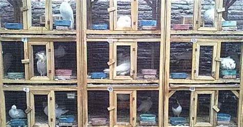 Alas Kandang Merpati Balap merancang kandang indoor untuk beternak merpati