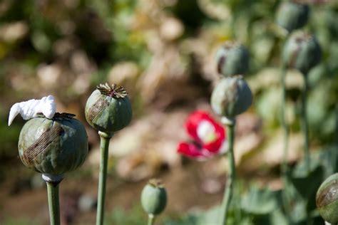 Opium by Photos Of U S And Afghan Troops Patrolling Poppy Fields