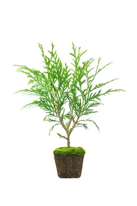 Ist Thuja Giftig by Giftige Pflanzen Evidero