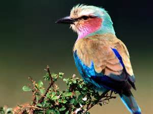 color bird rainbow colored bird beautiful birds wallpaper