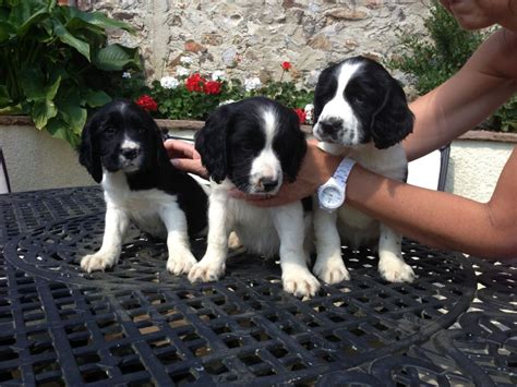 springer spaniel puppies for sale in mn springer spaniels puppies for sale springer spaniel breeds picture