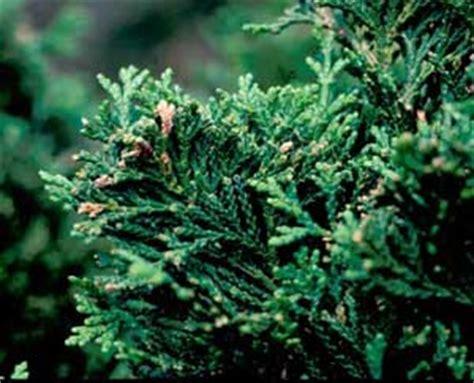 hinoki falsecypress chamaecyparis obtusa nana gracilis