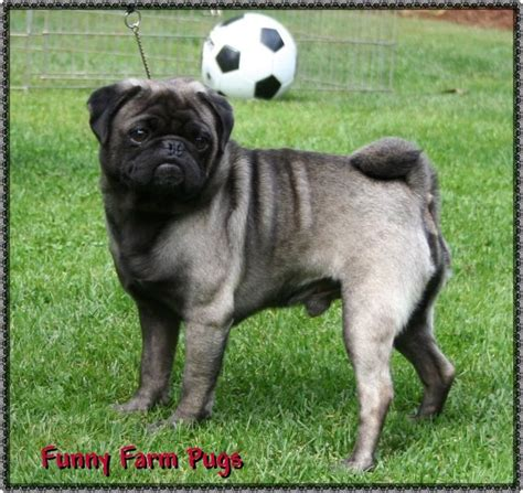 pug colors fawn 20 best pug in strange colors images on colors pug photos and pug