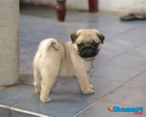 anjing pug anjing pug hewan peliharaan