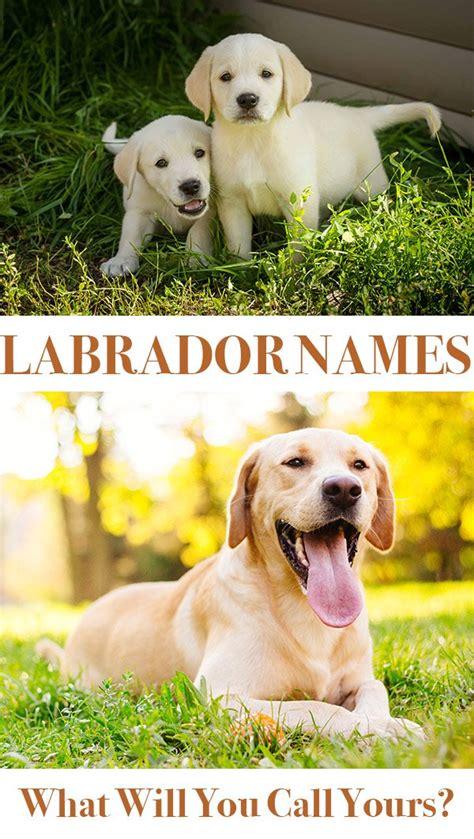 labrador names labrador names hundreds of great ideas to help you name your the labrador site