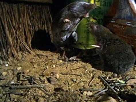 shrews  attack