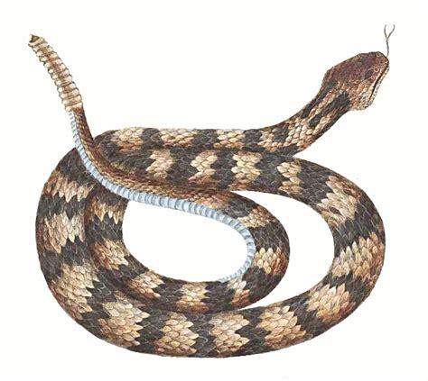 rattlesnake clipart rattlesnake clipart desert snake pencil and in color
