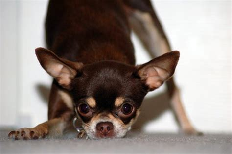 bad breath cure how to cure chihuahuas of bad breath pets
