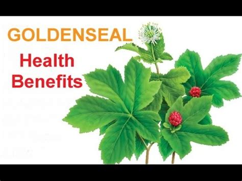 Goldenseal Root For Detox by What Is Goldenseal Doovi
