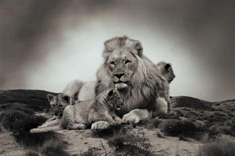 imagenes de leones national geographic lion fond ecran rj03 jornalagora