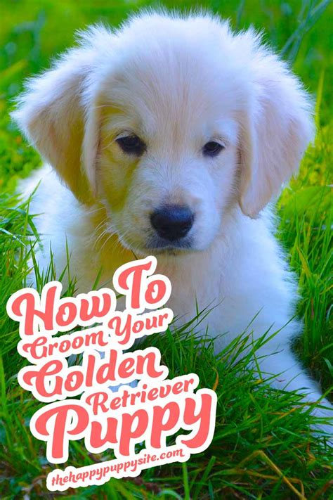 how to your golden retriever puppy how to groom a golden retriever the happy puppy site
