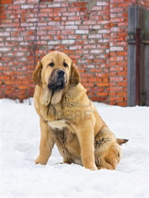 mastiff dog house spanish mastiff dog near the house photo and wallpaper beautiful spanish mastiff dog
