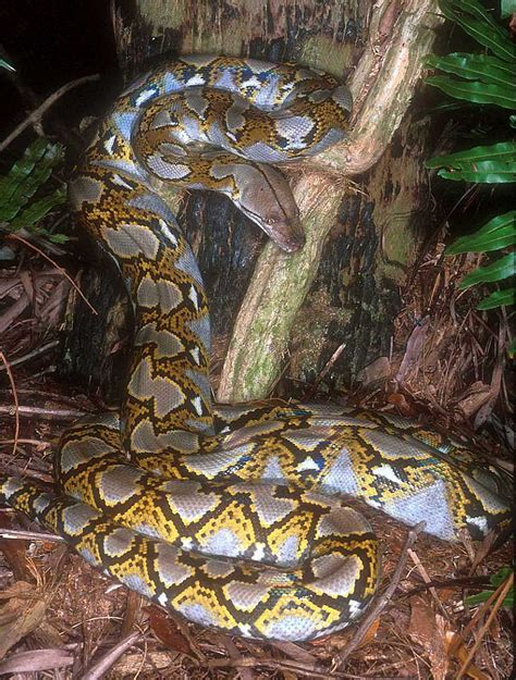 python image new images for reticulated python anaconda images