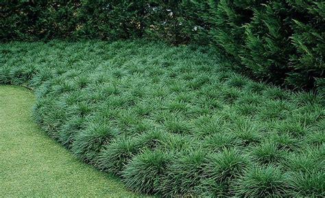 nana da giardino convallaria japonica nana piante perenni coltivare