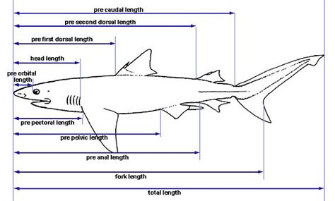 shark anatomy discover fishes