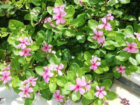 fiore pervinca vinca rosea piante annuali pervinca madagascar