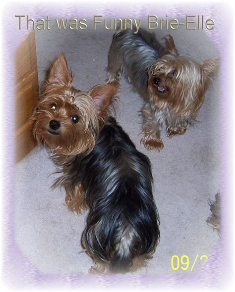 yorkies in maine yorkies by gwen in maine just for
