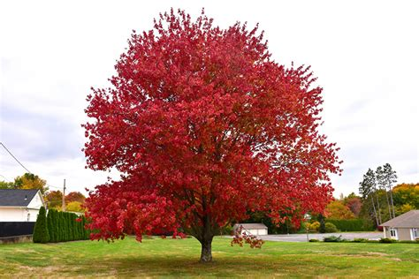 red maple acer rubrum  columbus dublin delaware grove