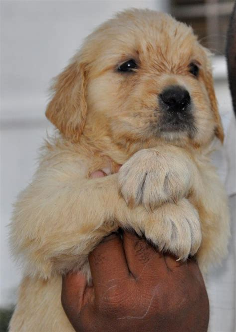 golden retriever puppies for sale in bangalore price golden retriever puppies for sale vinay v yadav 1 13194 dogs for sale price of