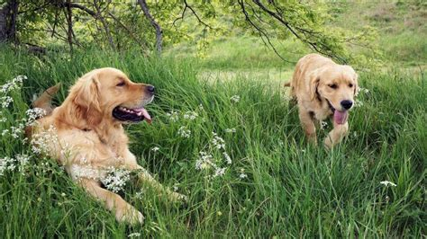 when do golden retrievers go in heat are golden retrievers dogs reference