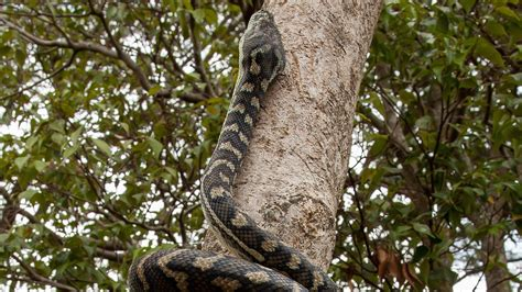 tree back muscles snakes climb trees like scaly accordions nerdist