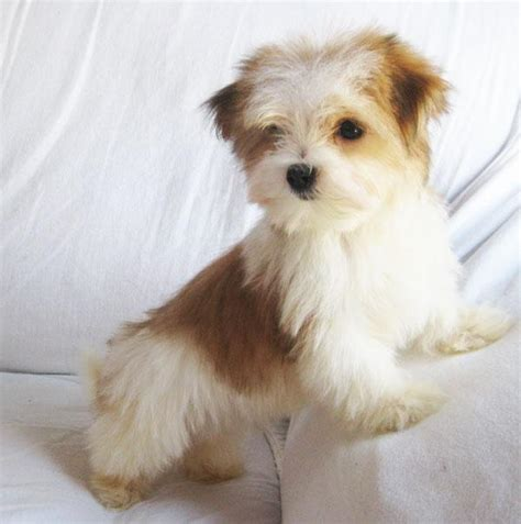 images morkies which morkie poll results morkies fanpop