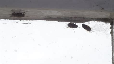 tiny black flies in bathroom gruesome footage stock clips