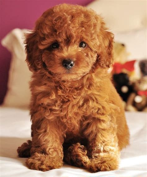 mini goldendoodles hypoallergenic miniature apricot teddy poodle i want one so