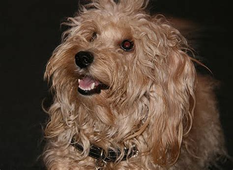 mini doodle rescue dogs pictures of non low shedding dogs picture breeds picture