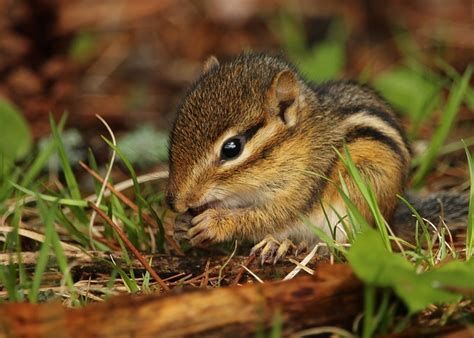 how to get a chipmunk out of your house how to get rid of chipmunks