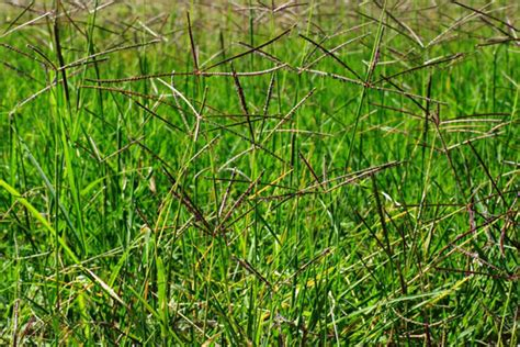 macam macam rumput liar  hias   dicari