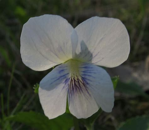 white violet plants   sutton massachusetts