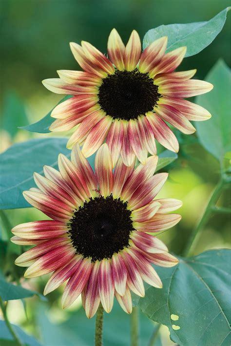 flower colors sunflower color varieties hgtv
