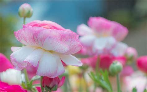 pink petals flower macro wallpaper 1024x768 resolution wallpaper pink petals peony flowers macro photography hd