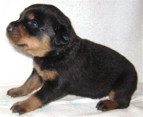 rottweiler puppies facts grown rottweiler rottweiler mix grown